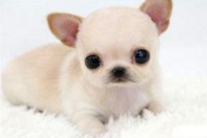 十大最小的狗排名 袖珍狗有哪些品种