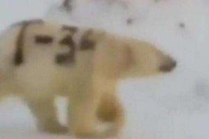 北极熊身上被涂字 失去保护色会饿死的