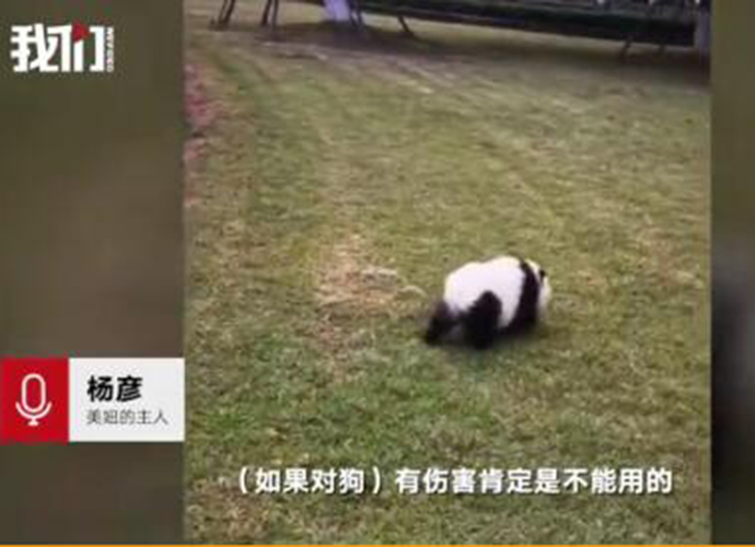 街头遛熊猫真相