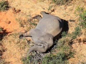 博茨瓦纳数百头大象神秘死亡 个个惨死形状怪异恐怖简直令人迷惑